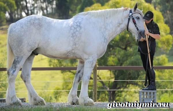 Шайр-лошадь-Описание-особенности-уход-и-цена-лошади-шайр-7