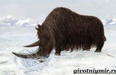Шерстистый носорог. Описание, особенности, среда обитания шерстистого носорога