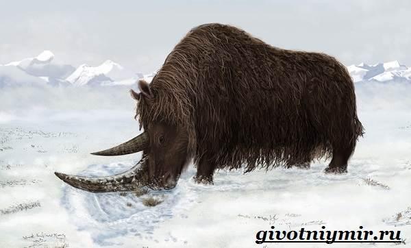 Шерстистый-носорог-Описание-особенности-среда-обитания-шерстистого-носорога-1