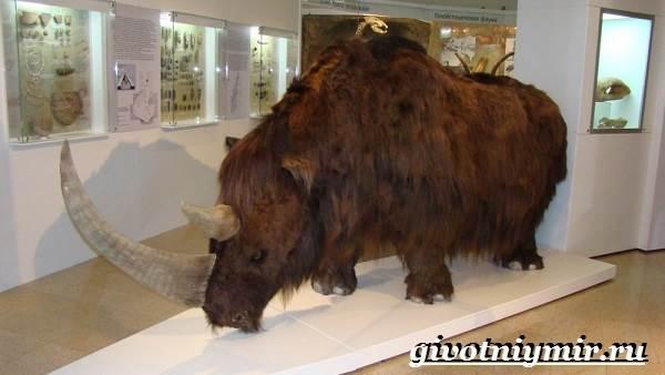 Шерстистый-носорог-Описание-особенности-среда-обитания-шерстистого-носорога-2