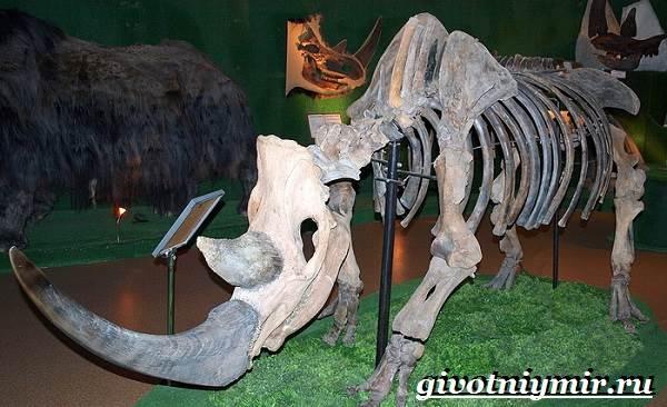 Шерстистый-носорог-Описание-особенности-среда-обитания-шерстистого-носорога-3