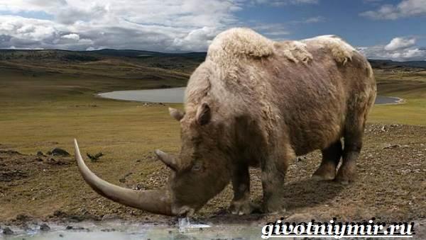 Шерстистый-носорог-Описание-особенности-среда-обитания-шерстистого-носорога-5