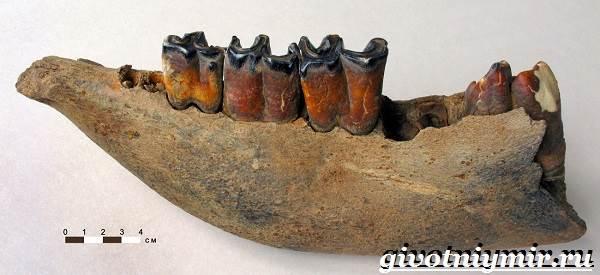 Шерстистый-носорог-Описание-особенности-среда-обитания-шерстистого-носорога-6