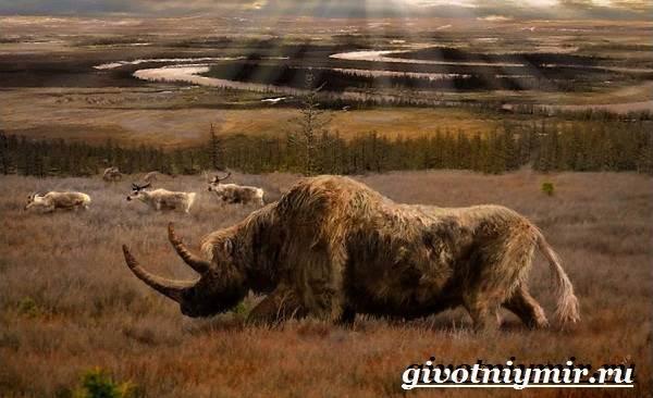 Шерстистый-носорог-Описание-особенности-среда-обитания-шерстистого-носорога-7