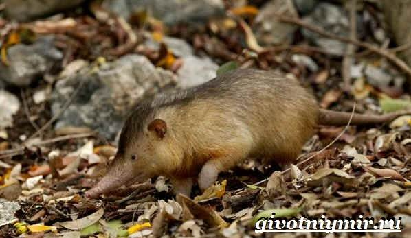 Щелезуб-животное-Образ-жизни-и-среда-обитания-щелезуба-2