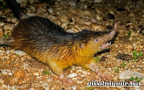 Щелезуб-животное-Образ-жизни-и-среда-обитания-щелезуба-4