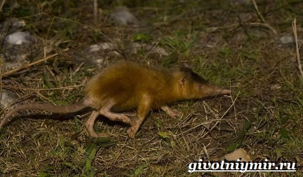 Щелезуб-животное-Образ-жизни-и-среда-обитания-щелезуба-5