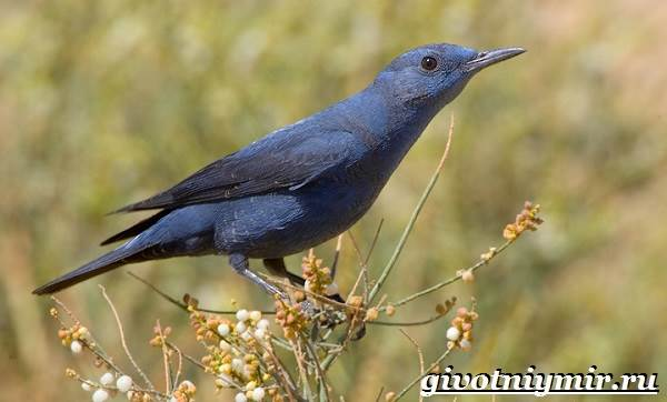 Синяя-птица-Образ-жизни-и-среда-обитания-синей-птицы-1