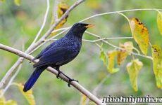 Синяя птица. Образ жизни и среда обитания синей птицы