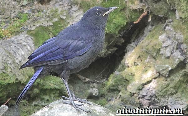 Синяя-птица-Образ-жизни-и-среда-обитания-синей-птицы-5