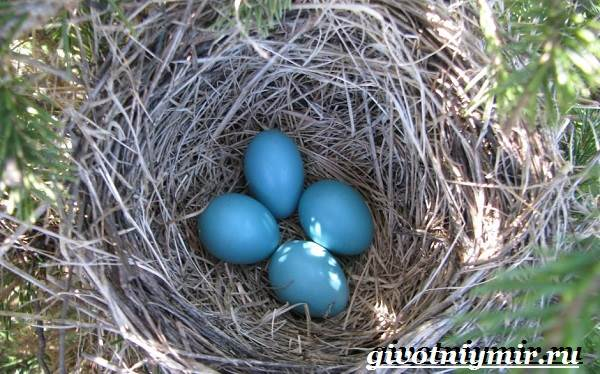 Синяя-птица-Образ-жизни-и-среда-обитания-синей-птицы-7
