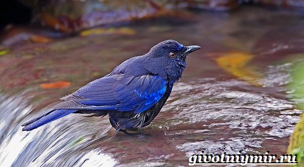 Синяя-птица-Образ-жизни-и-среда-обитания-синей-птицы-8