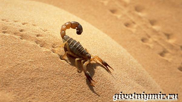 Скорпион-животное-Образ-жизни-и-среда-обитания-скорпиона-6