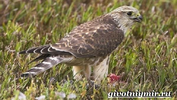 Сокол-дербник-птица-Образ-жизни-и-среда-обитания-сокола-дербника-1