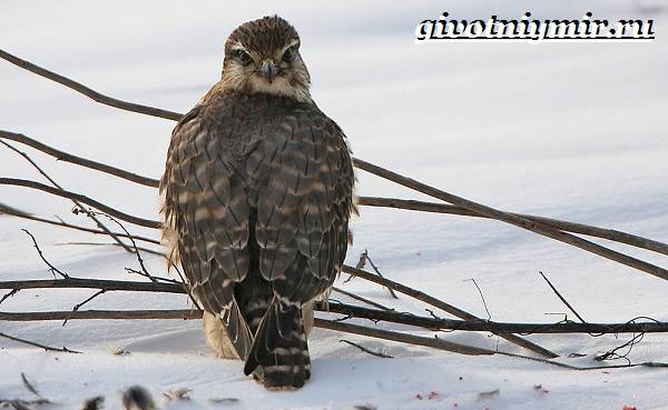 Сокол-дербник-птица-Образ-жизни-и-среда-обитания-сокола-дербника-2