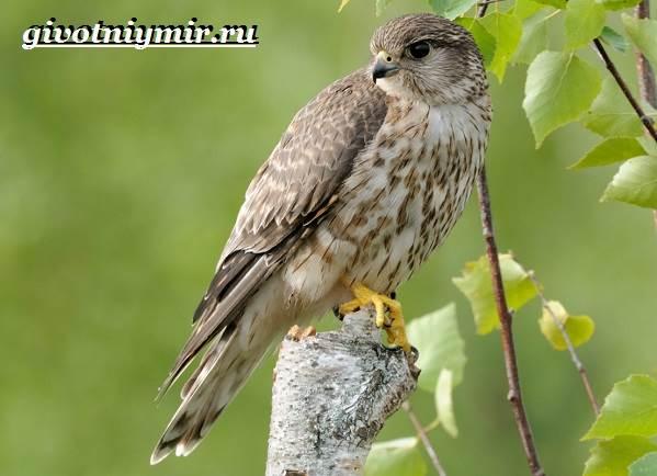 Сокол-дербник-птица-Образ-жизни-и-среда-обитания-сокола-дербника-3