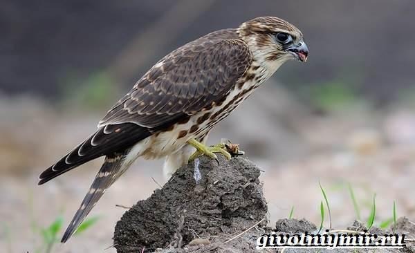 Сокол-дербник-птица-Образ-жизни-и-среда-обитания-сокола-дербника-4