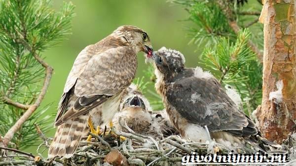 Сокол-дербник-птица-Образ-жизни-и-среда-обитания-сокола-дербника-5