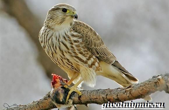 Сокол-дербник-птица-Образ-жизни-и-среда-обитания-сокола-дербника-7