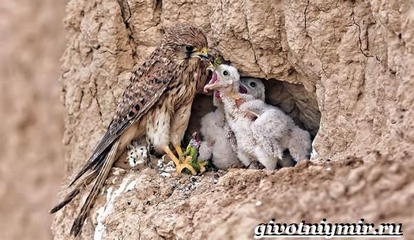 Сокол-дербник-птица-Образ-жизни-и-среда-обитания-сокола-дербника-9