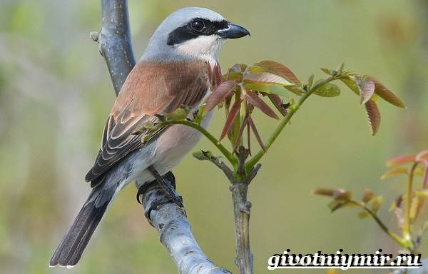 Сорокопут-птица-Образ-жизни-и-среда-обитания-сорокопута-1