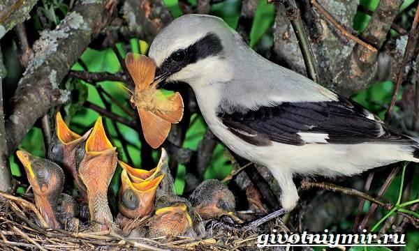 Сорокопут-птица-Образ-жизни-и-среда-обитания-сорокопута-10