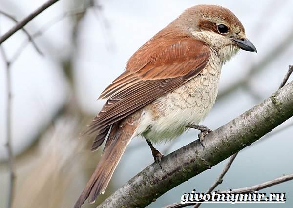 Сорокопут-птица-Образ-жизни-и-среда-обитания-сорокопута-2