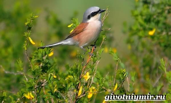 Сорокопут-птица-Образ-жизни-и-среда-обитания-сорокопута-3