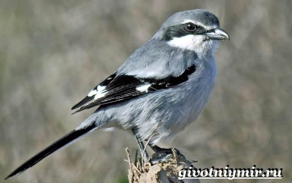 Сорокопут-птица-Образ-жизни-и-среда-обитания-сорокопута-4