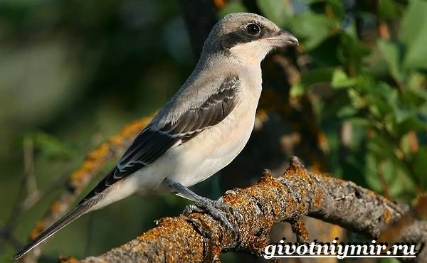Сорокопут-птица-Образ-жизни-и-среда-обитания-сорокопута-6