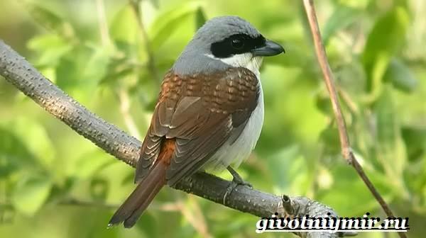 Сорокопут-птица-Образ-жизни-и-среда-обитания-сорокопута-8