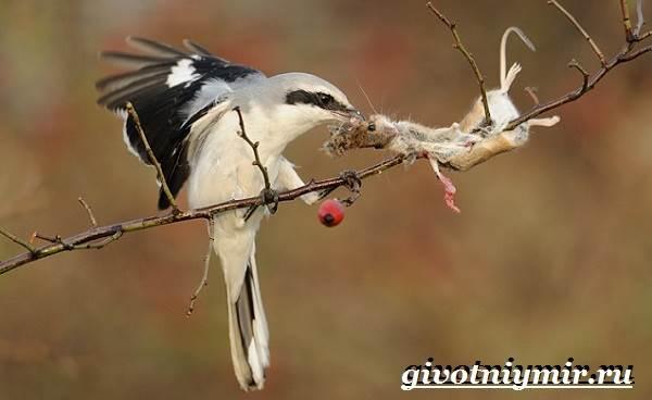 Сорокопут-птица-Образ-жизни-и-среда-обитания-сорокопута-9