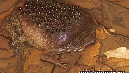 Суринамская пипа жаба. Образ жизни и среда обитания суринамской пипы