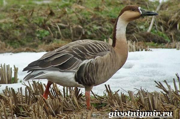 Сухонос-гусь-птица-Образ-жизни-и-среда-обитания-сухоноса-2
