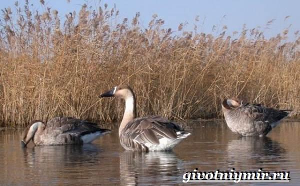 Сухонос-гусь-птица-Образ-жизни-и-среда-обитания-сухоноса-3