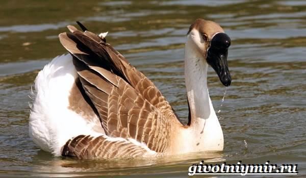 Сухонос-гусь-птица-Образ-жизни-и-среда-обитания-сухоноса-4