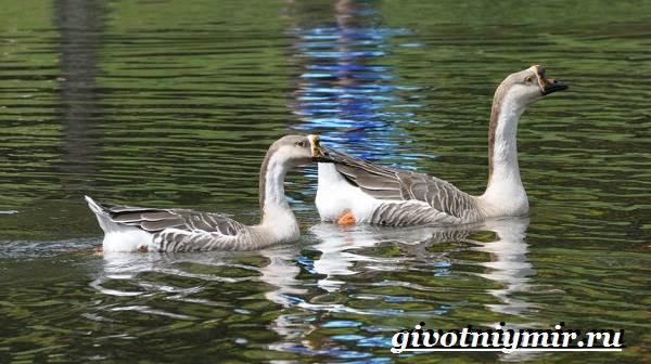 Сухонос-гусь-птица-Образ-жизни-и-среда-обитания-сухоноса-5
