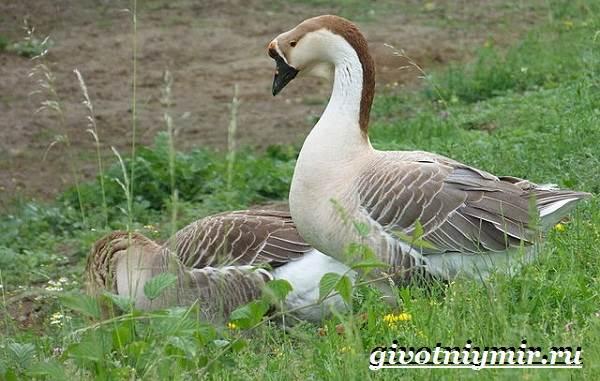 Сухонос-гусь-птица-Образ-жизни-и-среда-обитания-сухоноса-6