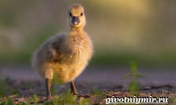 Сухонос-гусь-птица-Образ-жизни-и-среда-обитания-сухоноса-8