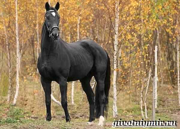 Тракененская-лошадь-Описание-особенности-уход-и-цена-тракененской-лошади-11