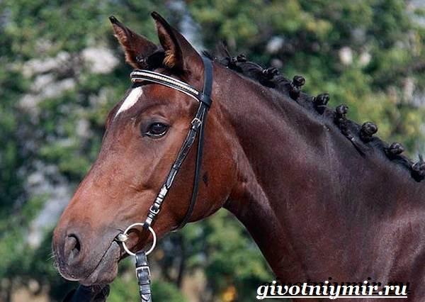 Тракененская-лошадь-Описание-особенности-уход-и-цена-тракененской-лошади-12