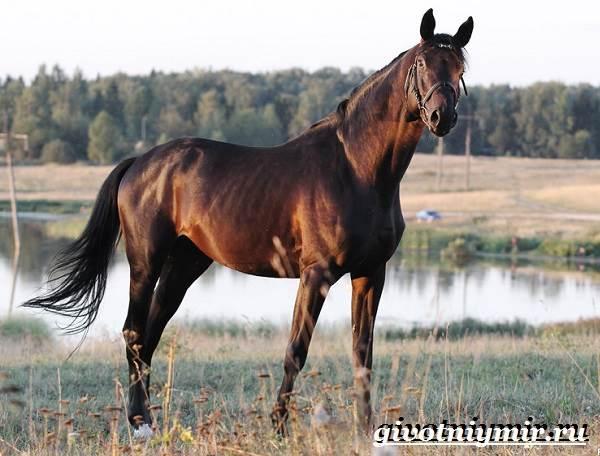 Тракененская-лошадь-Описание-особенности-уход-и-цена-тракененской-лошади-2