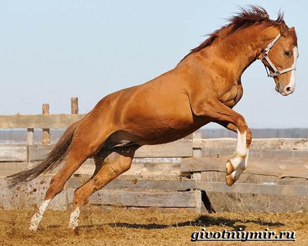 Тракененская-лошадь-Описание-особенности-уход-и-цена-тракененской-лошади-3
