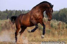 Тракененская лошадь. Описание, особенности, уход и цена тракененской лошади