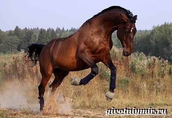 Тракененская-лошадь-Описание-особенности-уход-и-цена-тракененской-лошади-7