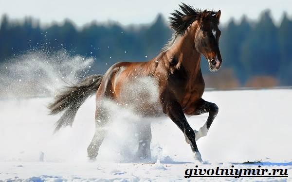 Тракененская-лошадь-Описание-особенности-уход-и-цена-тракененской-лошади-9