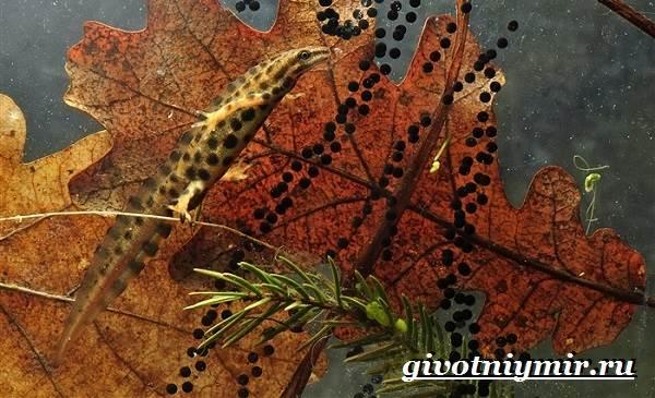 Тритон-обыкновенный-Образ-жизни-и-среда-обитания-тритона-обыкновенного-5