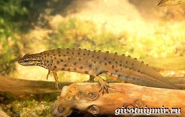Тритон-обыкновенный-Образ-жизни-и-среда-обитания-тритона-обыкновенного-7