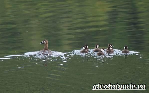Турпан-птица-Образ-жизни-и-среда-обитания-турпана-11