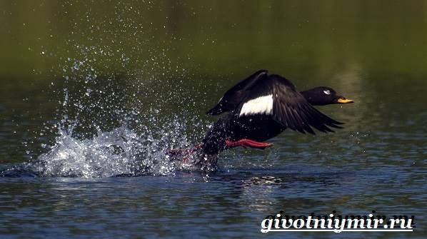 Турпан-птица-Образ-жизни-и-среда-обитания-турпана-2